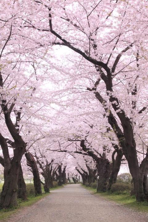 Јапонија за време на цветањето на црешите