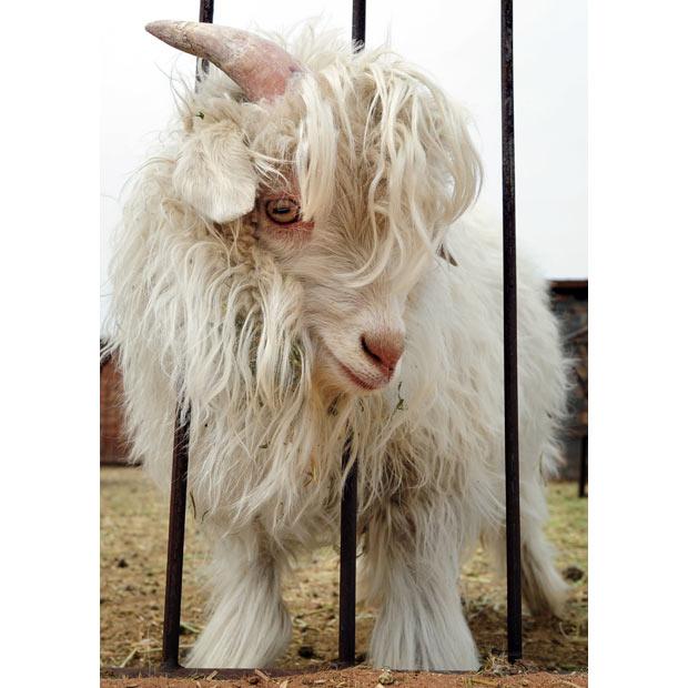 Кашмирска коза